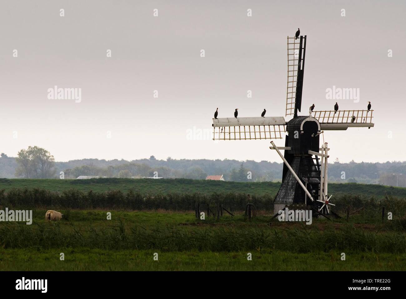 Kormoran (Phalacrocorax carbo), Kormorane sitzen auf den Fluegeln einer Windmuehle bei Waal en Burg, Niederlande, Texel | great cormorant (Phalacrocor - Stock Image