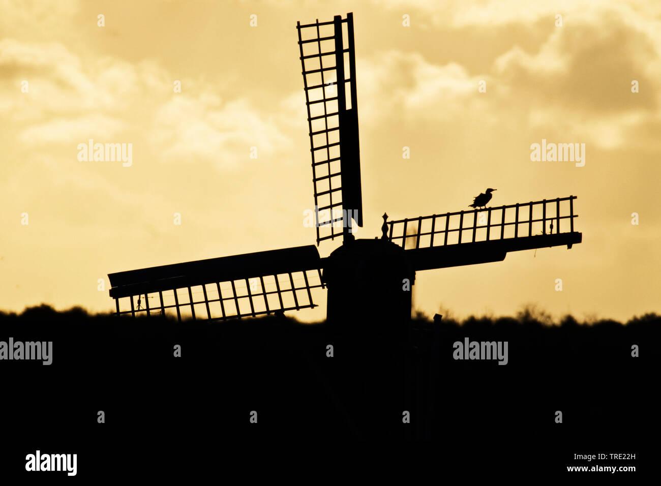 Kormoran (Phalacrocorax carbo), sitzt bei Sonnenaufgang auf dem Fluegel einer Windmuehle bei Waal en Burg, Niederlande, Texel   great cormorant (Phala - Stock Image