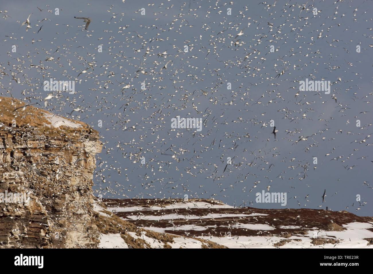 Dreizehenmoewe, Dreizehen-Moewe (Rissa tridactyla, Larus tridactyla), riesiger Schwarm am Varangerfjord an der Brutkolonie, Norwegen, Ekkeroy | black- - Stock Image