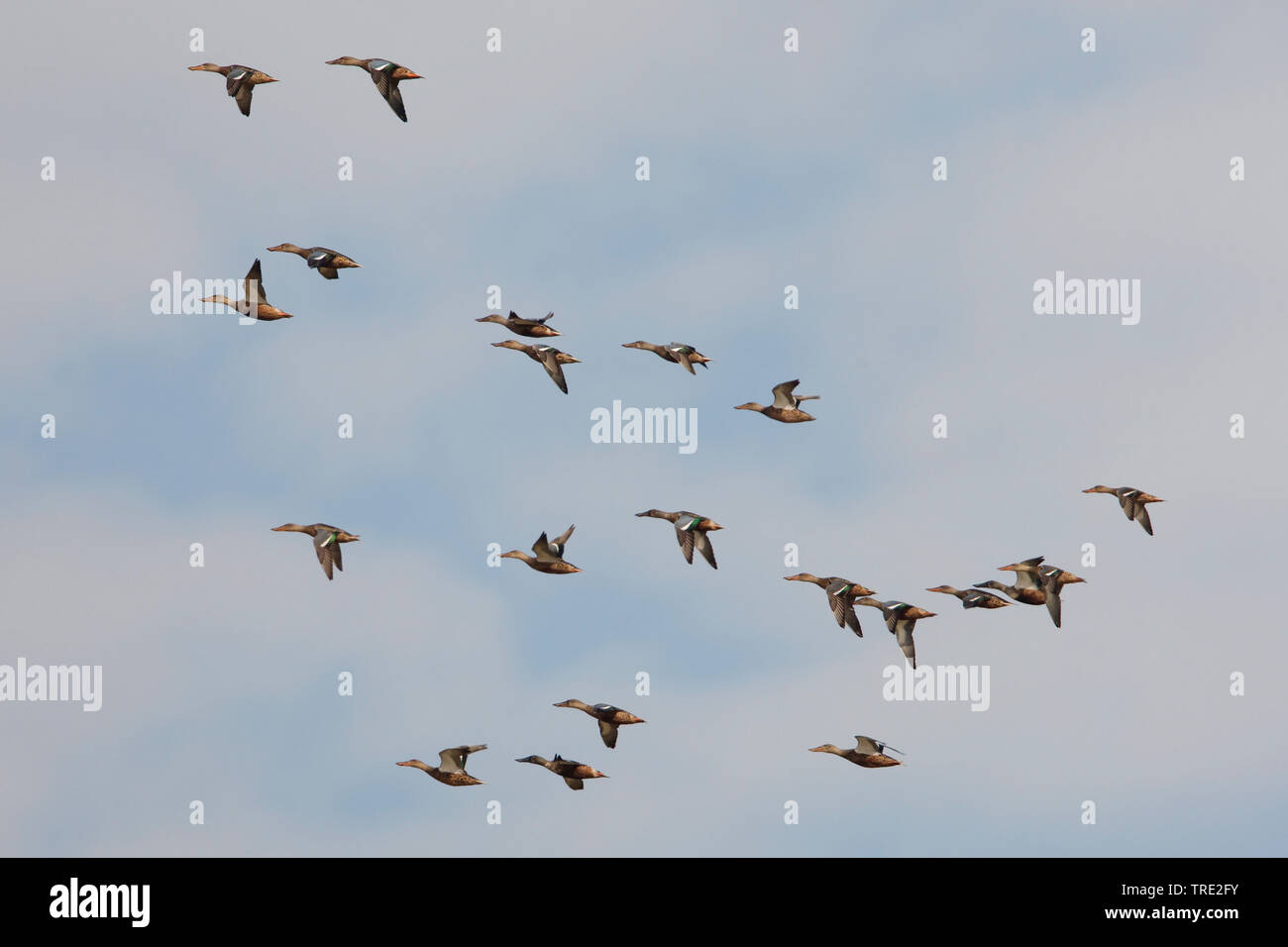 Loeffelente, Loeffel-Ente (Anas clypeata), fliegender Trupp, Niederlande, Terschelling | northern shoveller (Anas clypeata), group flying, Netherlands - Stock Image