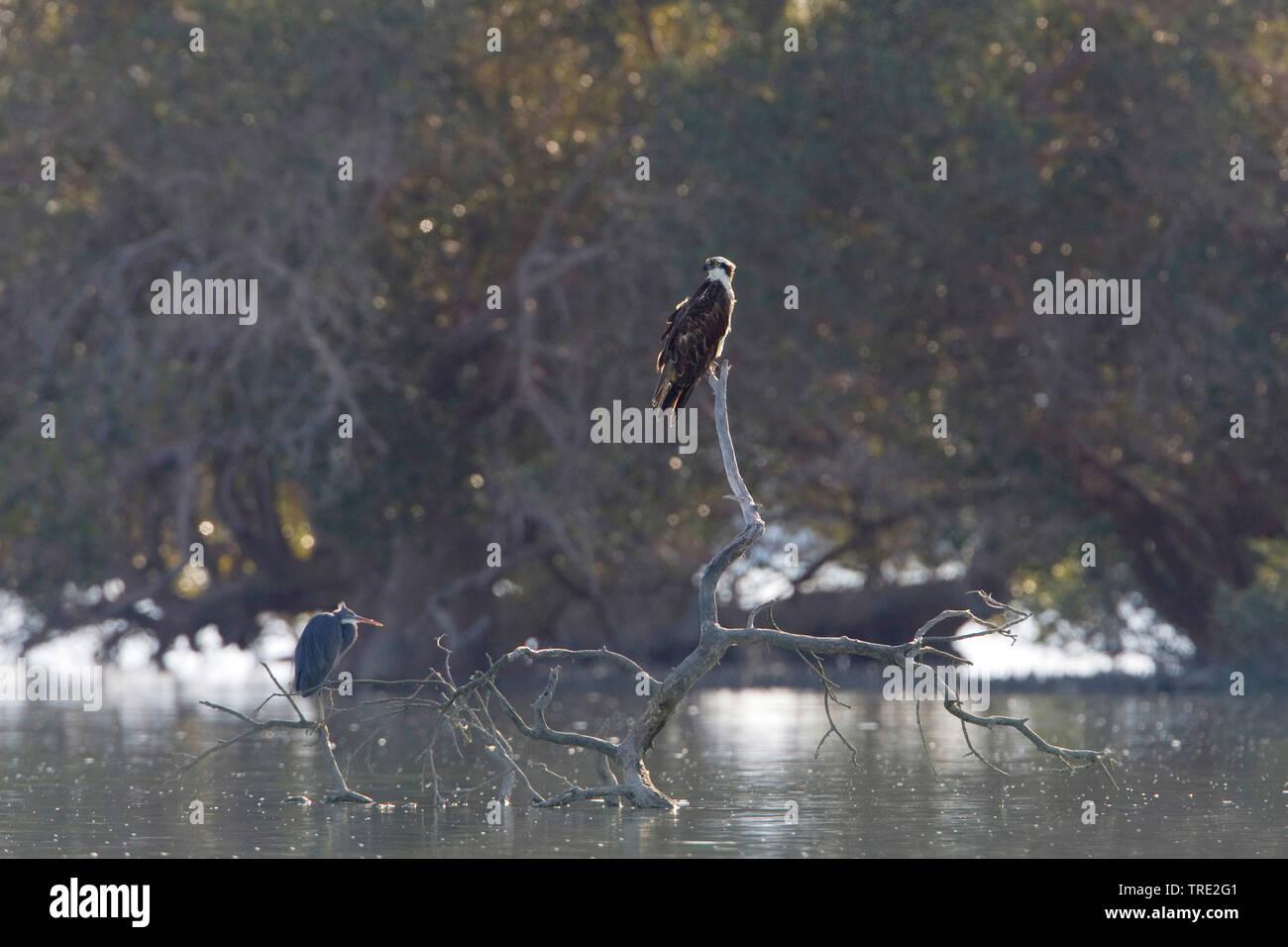 Fischadler, Fisch-Adler (Pandion haliaetus), und Graureiher auf Ansitz, Iran | osprey, fish hawk (Pandion haliaetus), and grey heron on lookout, Iran - Stock Image