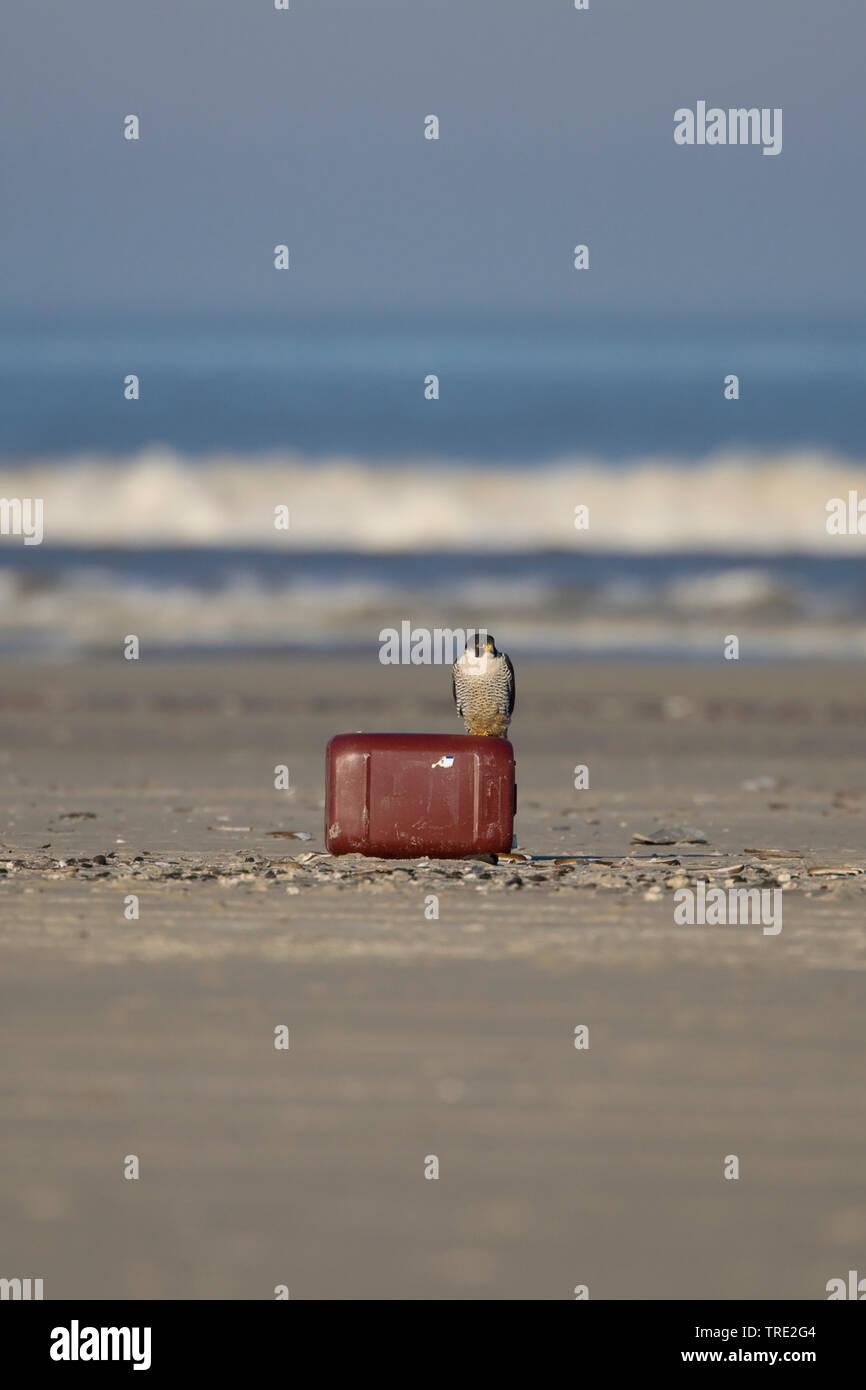 Wanderfalke, Wander-Falke (Falco peregrinus), Maennchen sitzt auf einem angespuelten Kanister am Strand, Niederlande, Terschelling   peregrine falcon - Stock Image