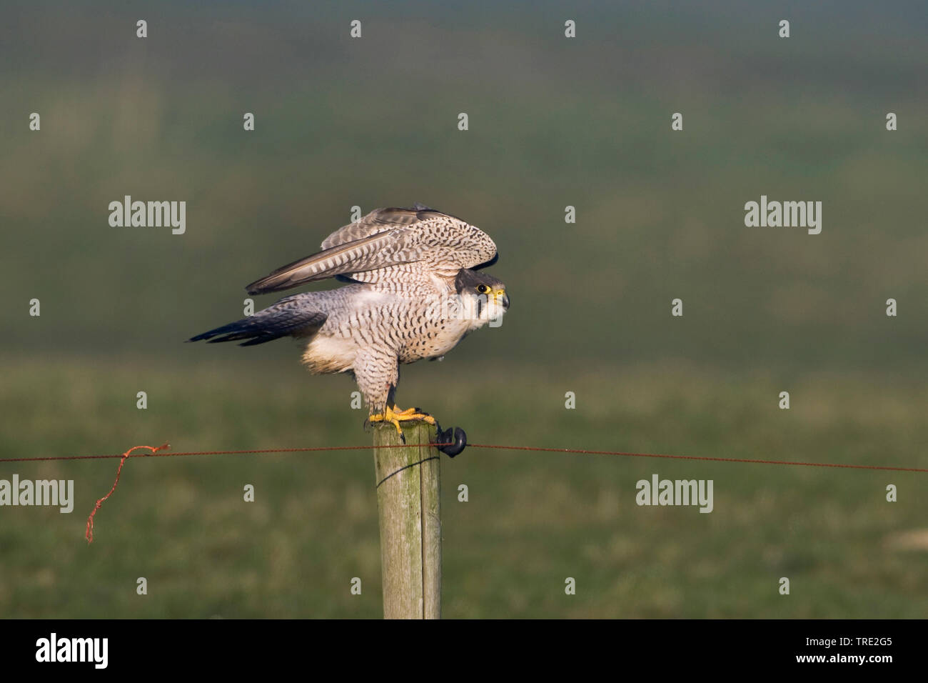 Wanderfalke, Wander-Falke (Falco peregrinus), Weibchen landet auf einem Pfosten, Niederlande, Terschelling   peregrine falcon (Falco peregrinus), fema - Stock Image
