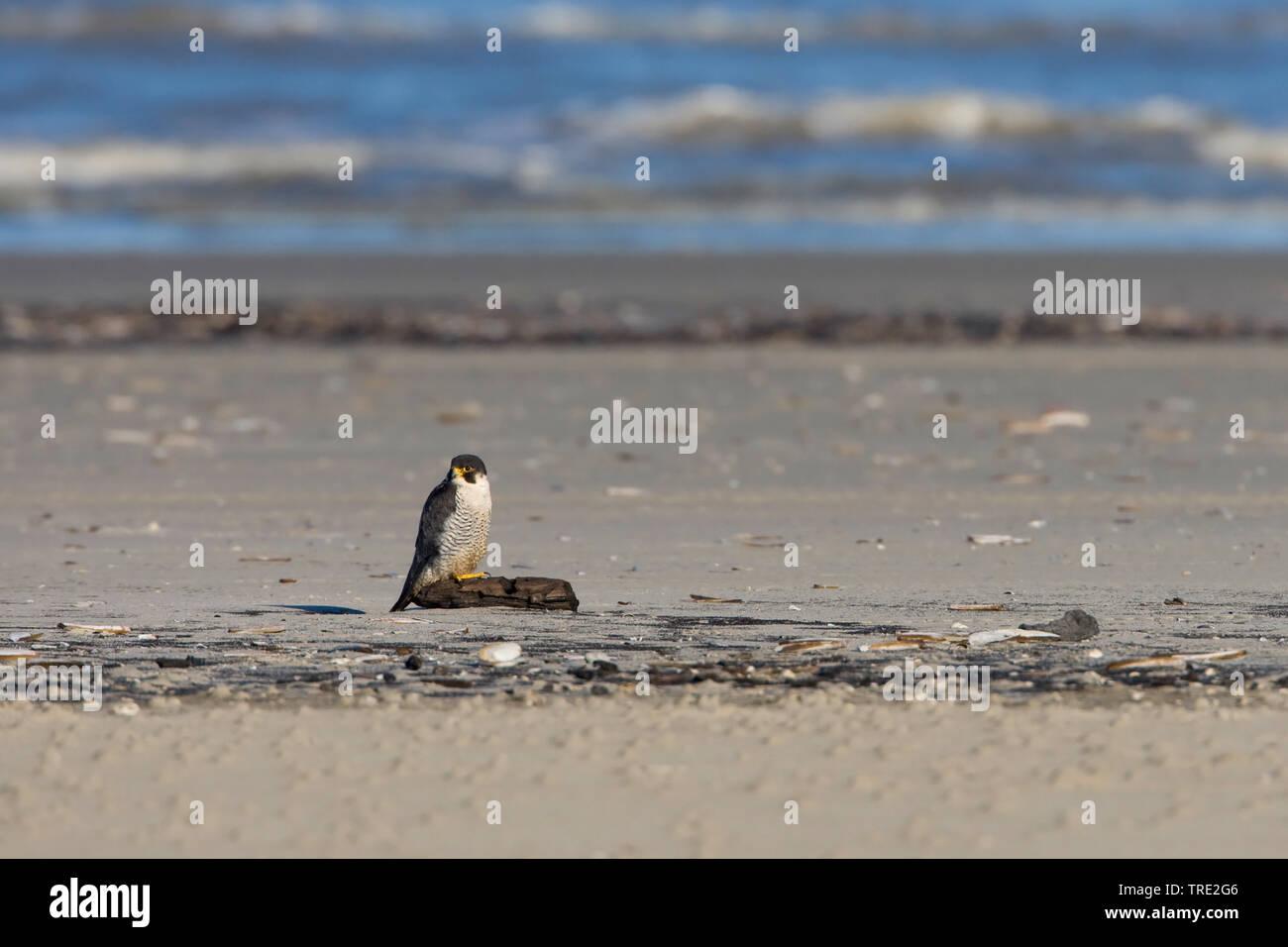 Wanderfalke, Wander-Falke (Falco peregrinus), Maennchen sitzt am Strand, Niederlande, Terschelling   peregrine falcon (Falco peregrinus), male sitting - Stock Image