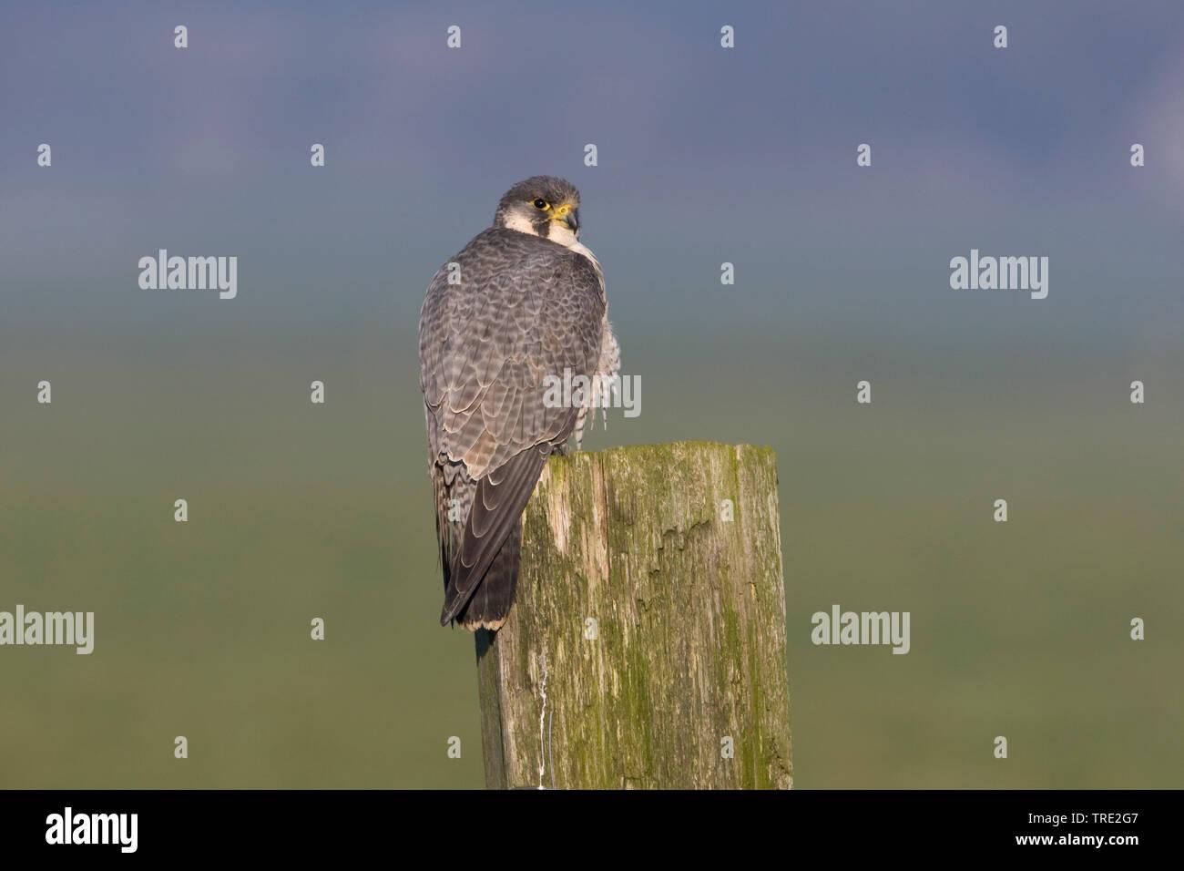Wanderfalke, Wander-Falke (Falco peregrinus), Weibchen sitzt auf einem Pfosten, Niederlande, Terschelling   peregrine falcon (Falco peregrinus), femal - Stock Image
