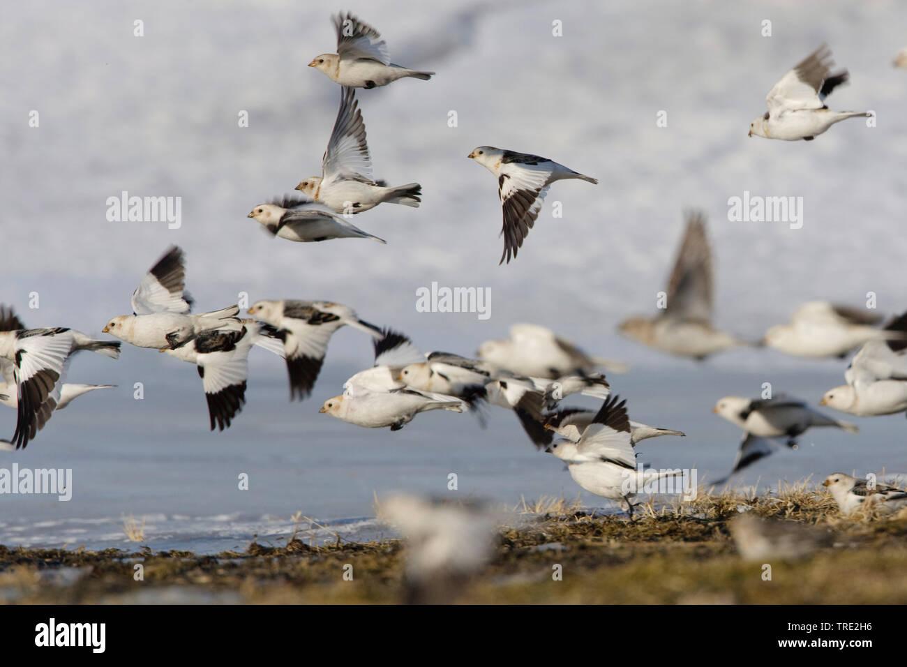 Schneeammer, Schnee-Ammer (Plectrophenax nivalis), fliegender Trupp, Niederlande, Terschelling | snow bunting (Plectrophenax nivalis), flying group, N - Stock Image