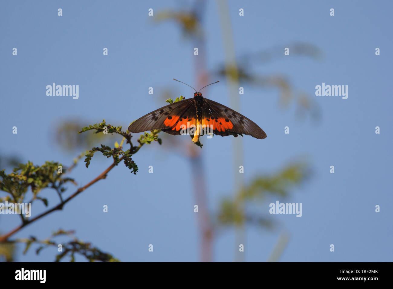 Edelfalter, Acraea egina (Acraea egina egina), Aufsicht, Gambia, Western Division WD | Elegant Acraea (Acraea egina egina), top view, Gambia, Western - Stock Image