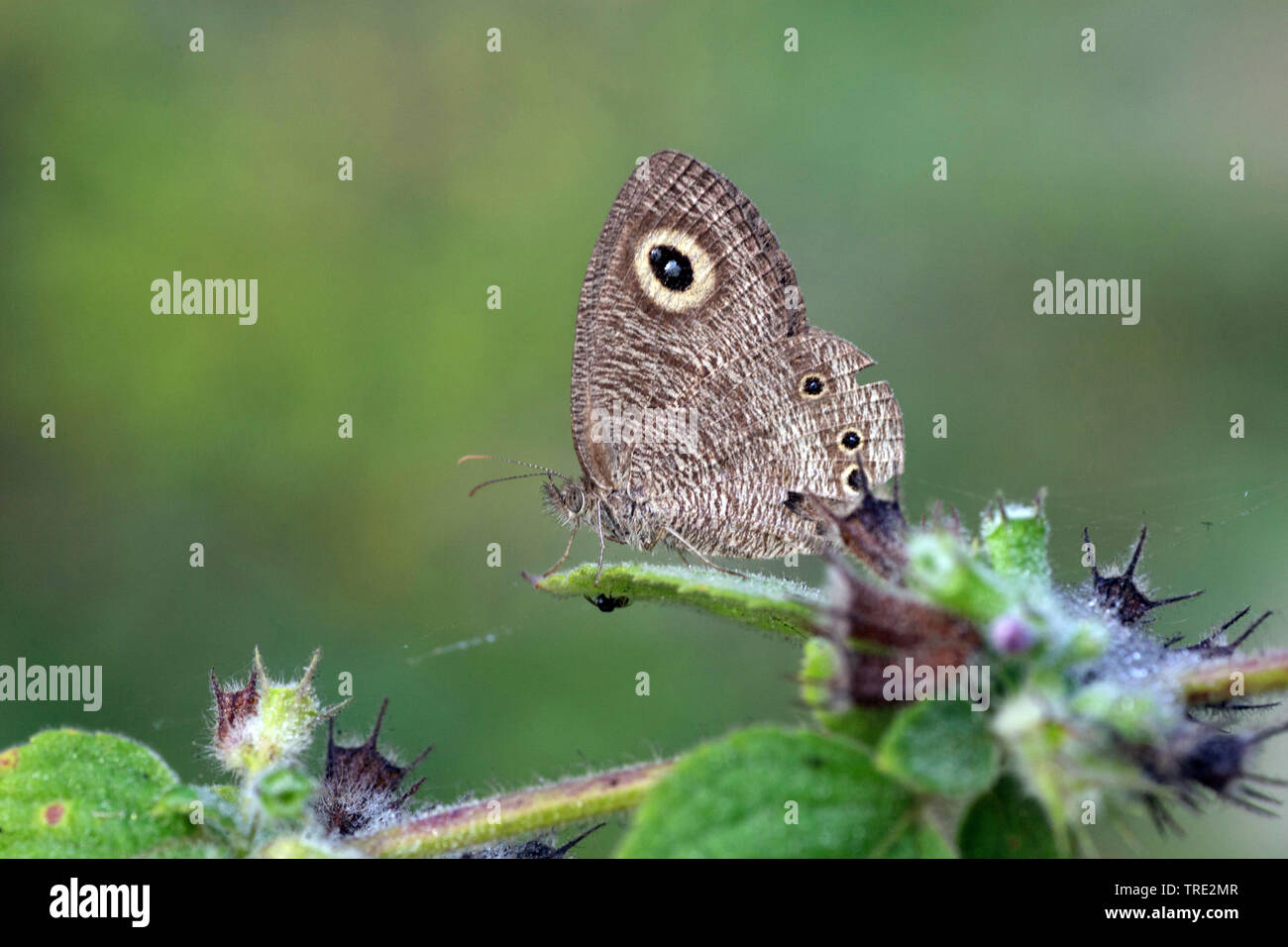 Edelfalter, Ypthima (Ypthima spec.), Seitenansicht, Gambia, Western Division WD | Ypthima (Ypthima spec.), lateral view, Gambia, Western Division WD | - Stock Image
