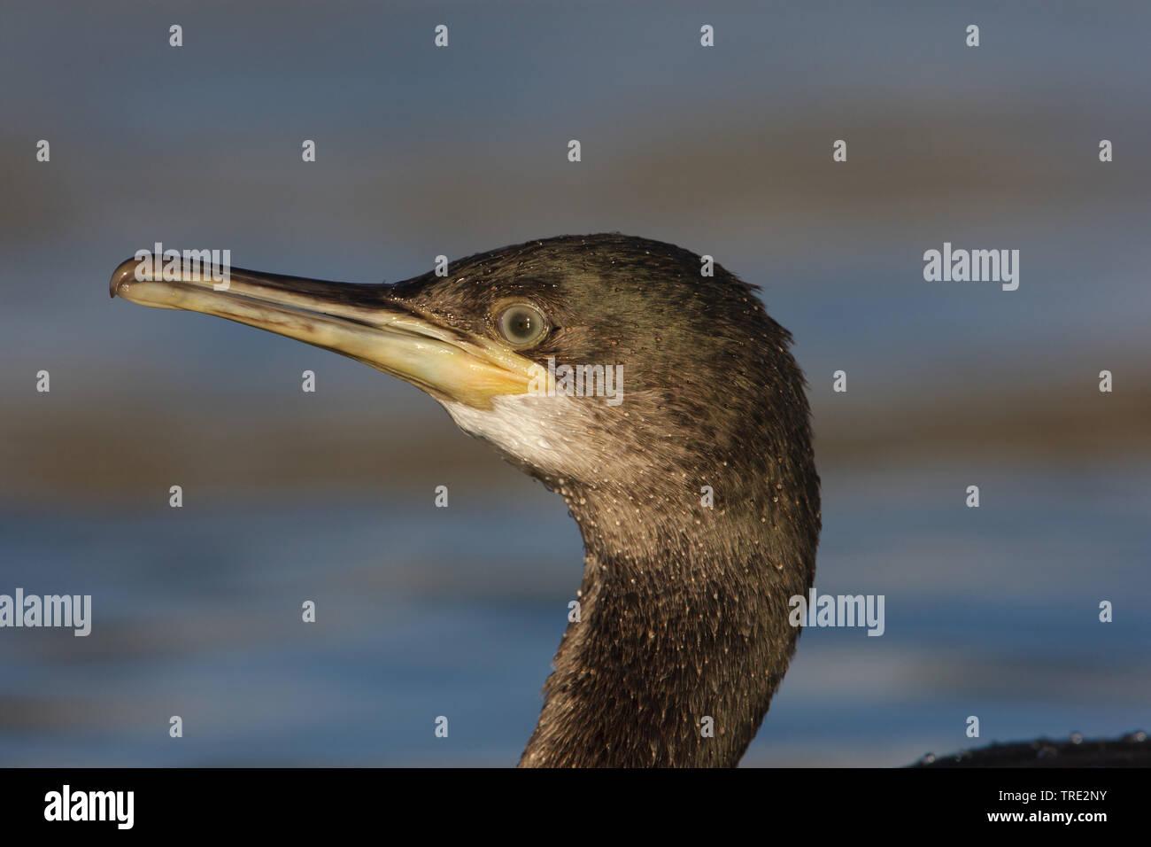 Kraehenscharbe, Kraehen-Scharbe (Phalacrocorax aristotelis), Portraet, Niederlande, Terschelling | shag (Phalacrocorax aristotelis), portrait, Netherl - Stock Image