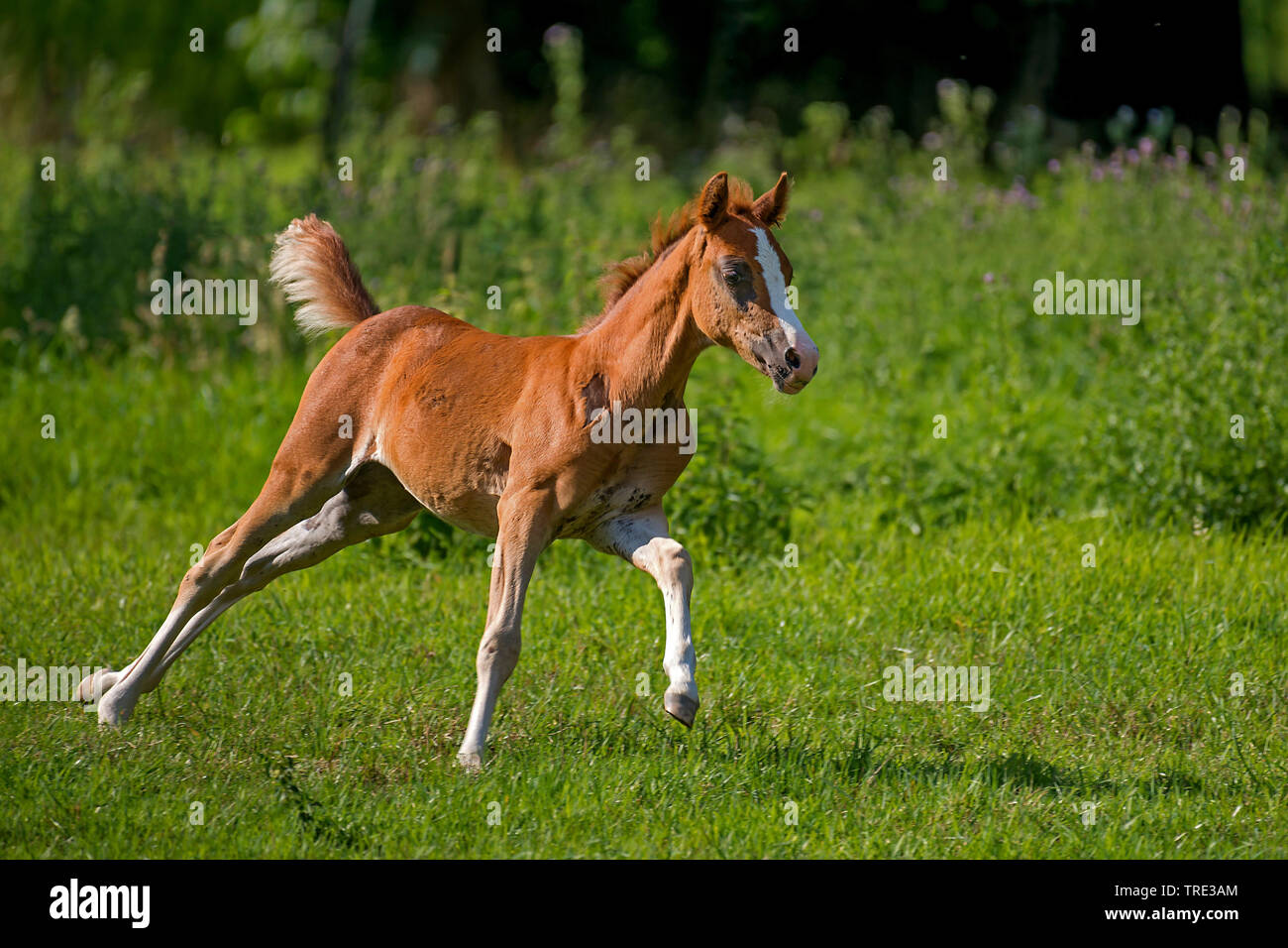 Welsh and cob pony (Equus przewalskii f. caballus), foal running in a meadow, side view, Germany, North Rhine-Westphalia Stock Photo