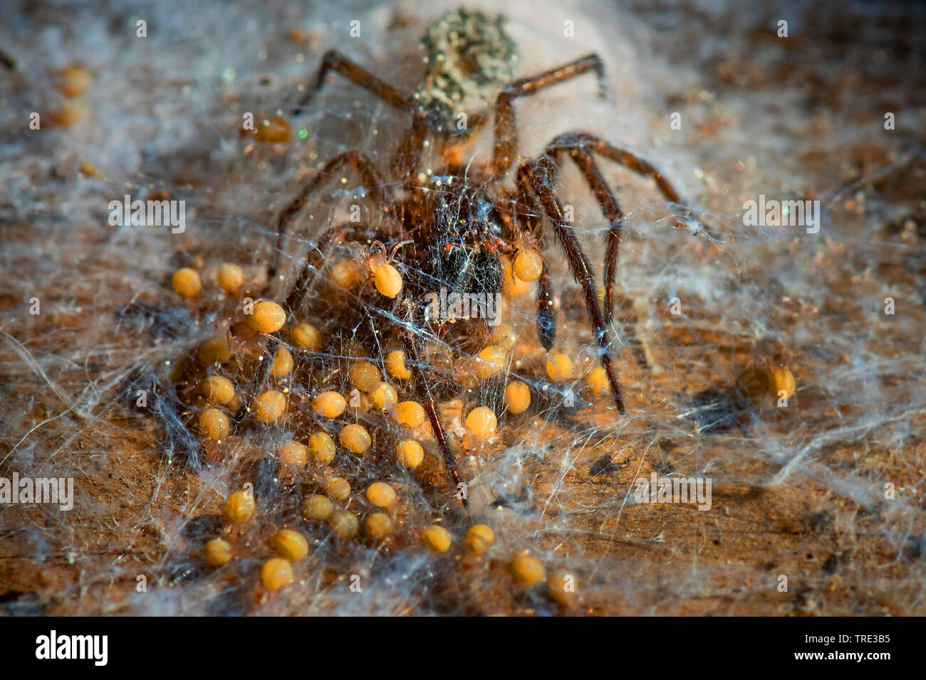 Kreuzspinnen (Araneus spec.), Kreuspinne mit Nachwuchs, Deutschland, NRW | orbweavers (Araneus spec.), spider with spiderlets, Germany, North Rhine-We - Stock Image