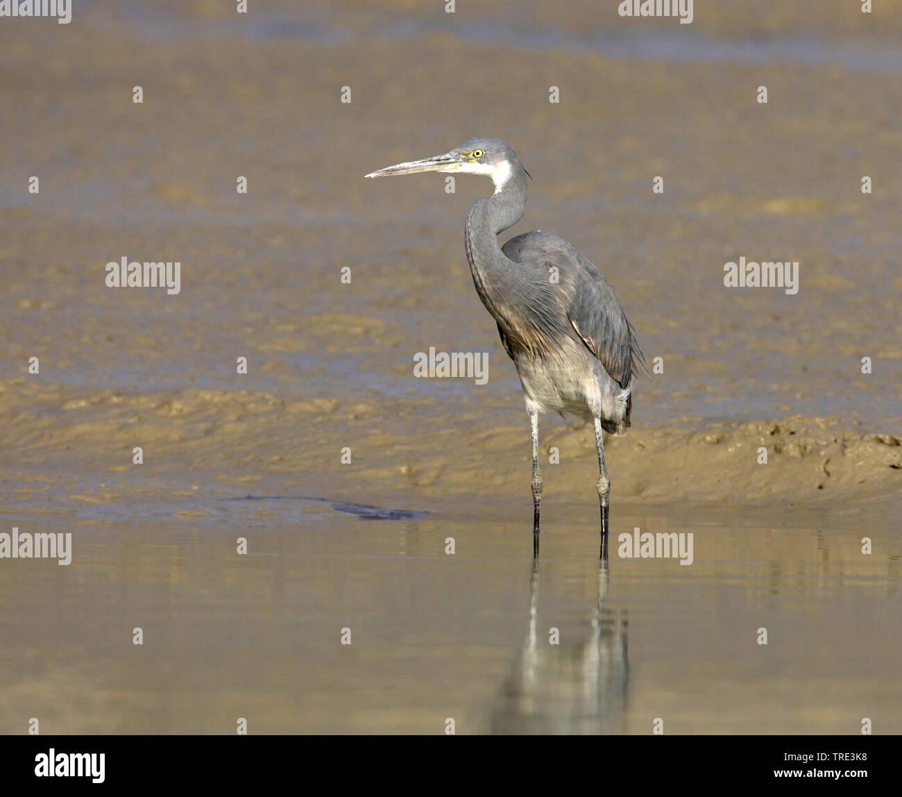 Kuestenreiher, Kuesten-Reiher (Egretta gularis), am Wasser, dunkle Morphe, Iran | western reef egret (Egretta gularis), by the waterside, dark morph, - Stock Image