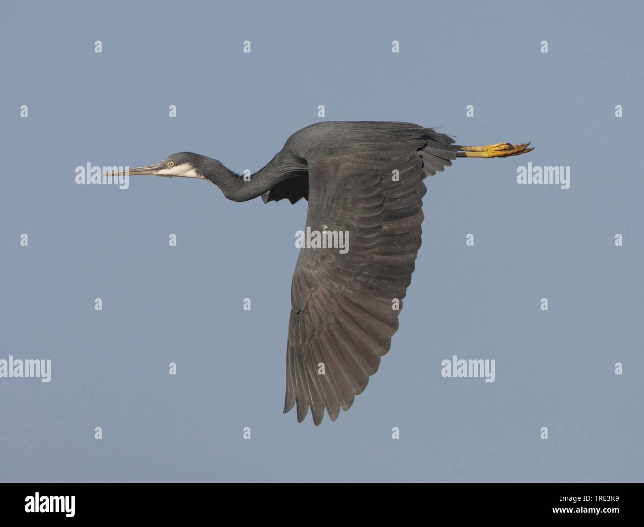 Kuestenreiher, Kuesten-Reiher (Egretta gularis), im Flug, dunkle Morphe, Gambia | western reef egret (Egretta gularis), in flight, dark morph, Gambia - Stock Image