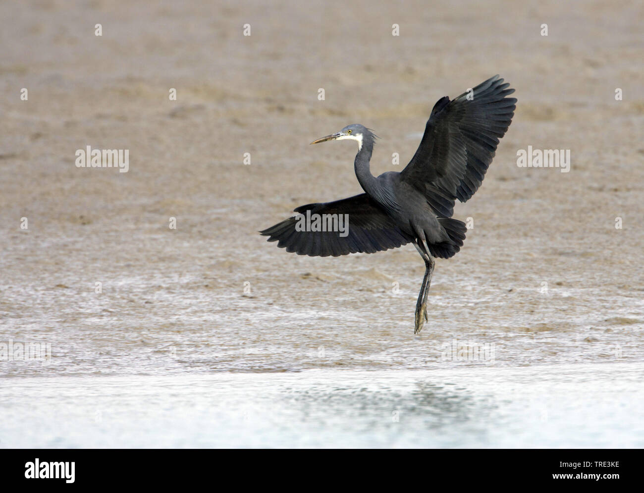 Kuestenreiher, Kuesten-Reiher (Egretta gularis), im Flug, dunkle Morphe, Iran | western reef egret (Egretta gularis), in flight, dark morph, Iran | BL - Stock Image