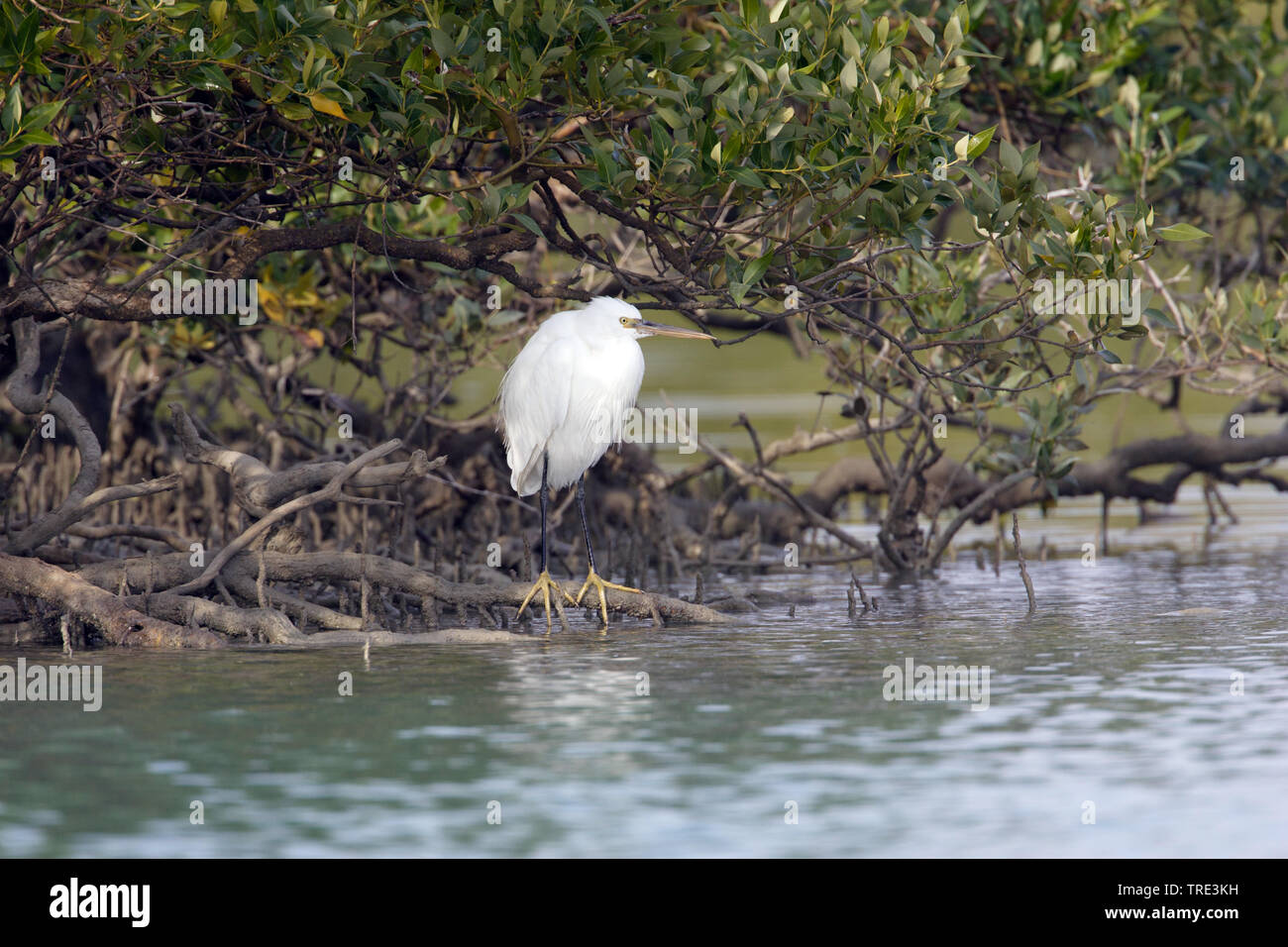 Kuestenreiher, Kuesten-Reiher (Egretta gularis), am Wasser, Iran | western reef egret (Egretta gularis), by the waterside, Iran | BLWS516427.jpg [ (c) - Stock Image