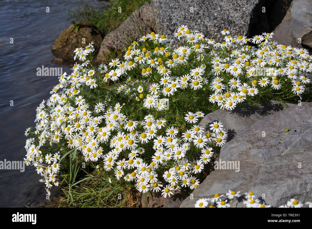 Strand-Kamille, Strandkamille, Echte Strandkamille, Kuesten-Kamille, Kuestenkamille, Kuesten-Strandkamille (Tripleurospermum maritimum), bluehend, Isl - Stock Image
