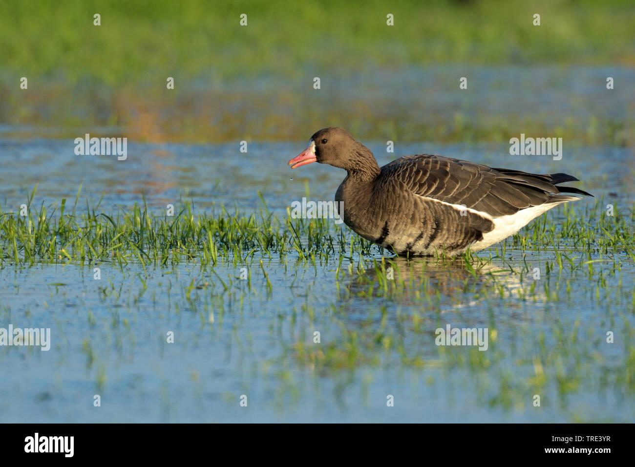 Blaessgans, Blaess-Gans, Blessgans, Bless-Gans (Anser albifrons), im Wasser, Deutschland, Nordrhein-Westfalen | white-fronted goose (Anser albifrons), - Stock Image