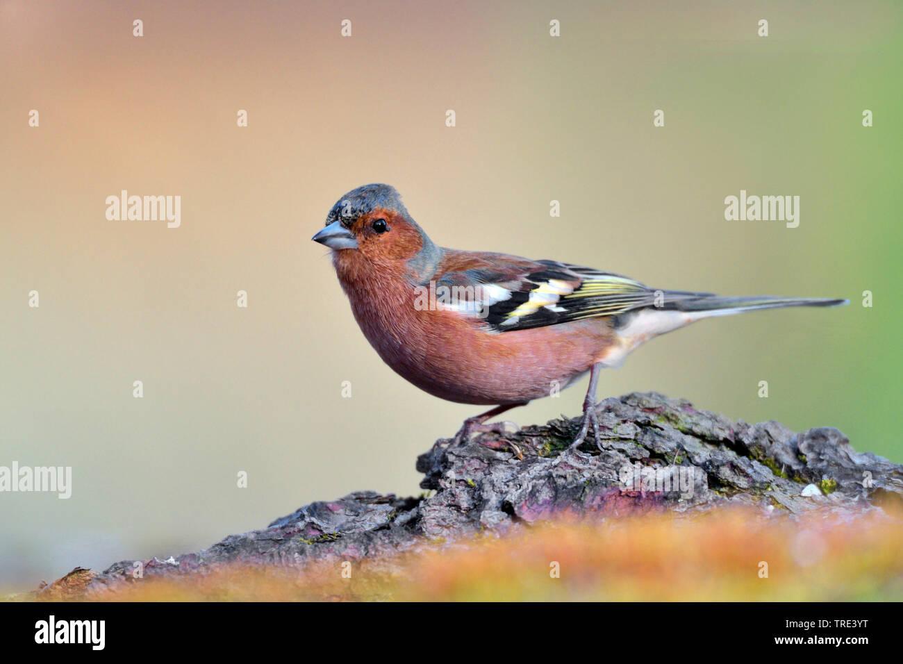 Buchfink, Buch-Fink (Fringilla coelebs), auf einem Ast, Deutschland, Nordrhein-Westfalen | chaffinch (Fringilla coelebs), on a branch, Germany, North - Stock Image