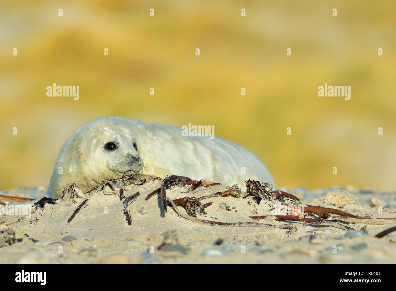 gray seal (Halichoerus grypus), young gray seal on the beach, Germany, Schleswig-Holstein, Heligoland Stock Photo