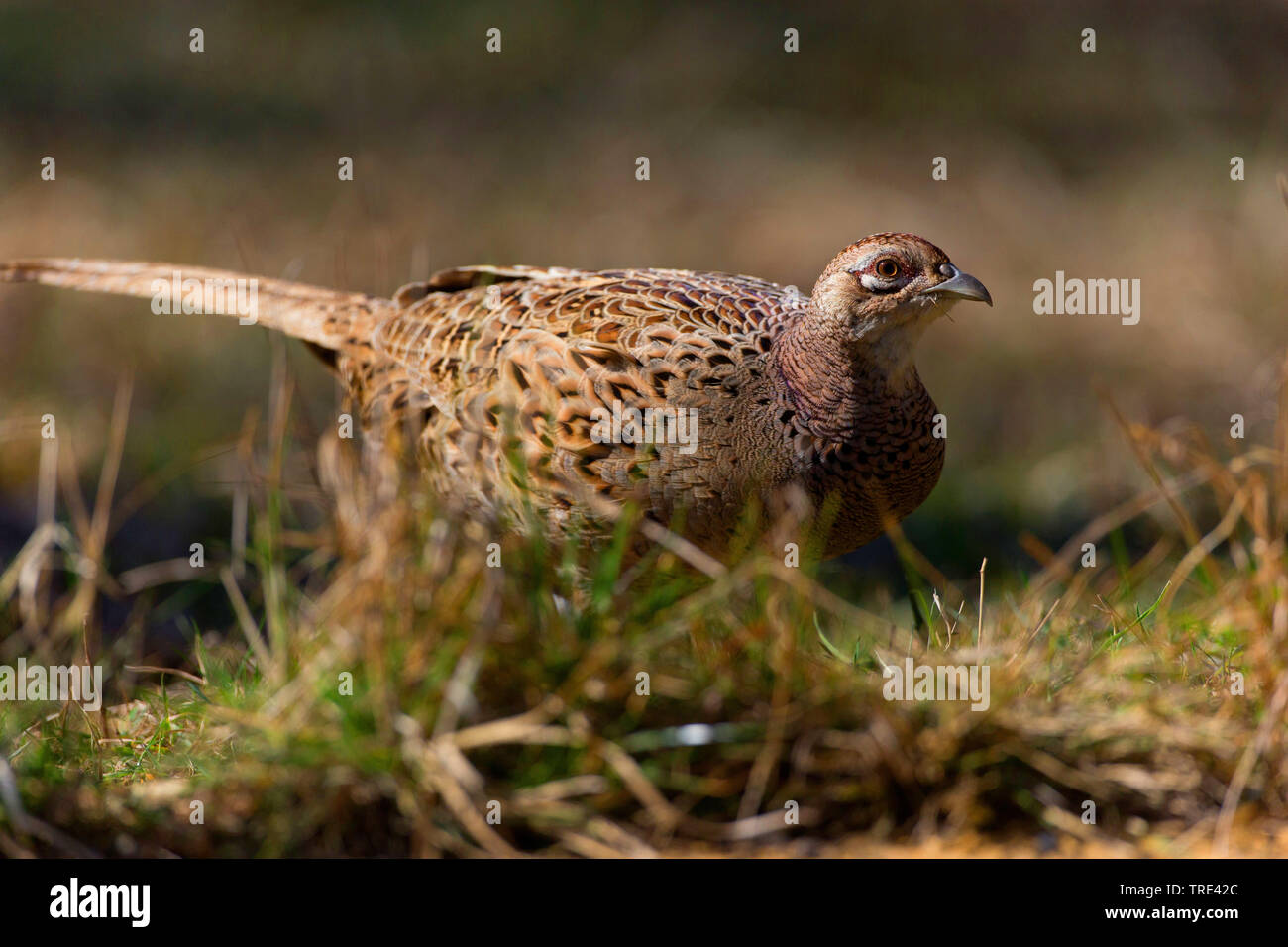 Fasan, Ringfasan, Ring-Fasan, Jagdfasan, Jagd-Fasan (Phasianus colchicus), Henne, Deutschland | Common pheasant, Caucasus Pheasant, Caucasian Pheasant - Stock Image