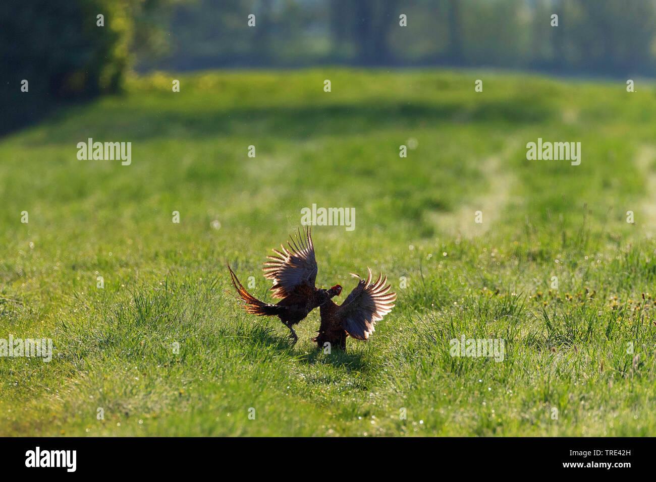 Fasan, Ringfasan, Ring-Fasan, Jagdfasan, Jagd-Fasan (Phasianus colchicus), kaempfende Maennchen, Deutschland | Common pheasant, Caucasus Pheasant, Cau - Stock Image