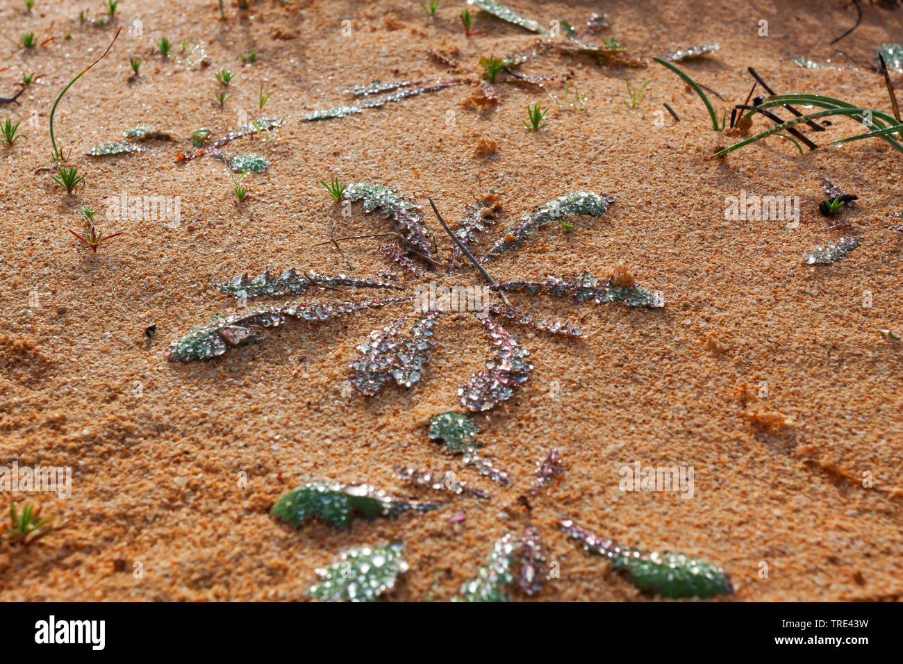 morning dew on a plant, Canary Islands, Fuerteventura Stock Photo