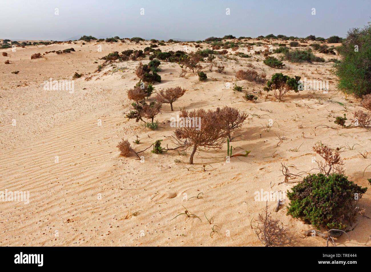 Duenen im Wuestengebiet von Fuerteventura, Kanaren, Fuerteventura   dunes in the desert of Fuerteventura, Canary Islands, Fuerteventura   BLWS516760.j - Stock Image