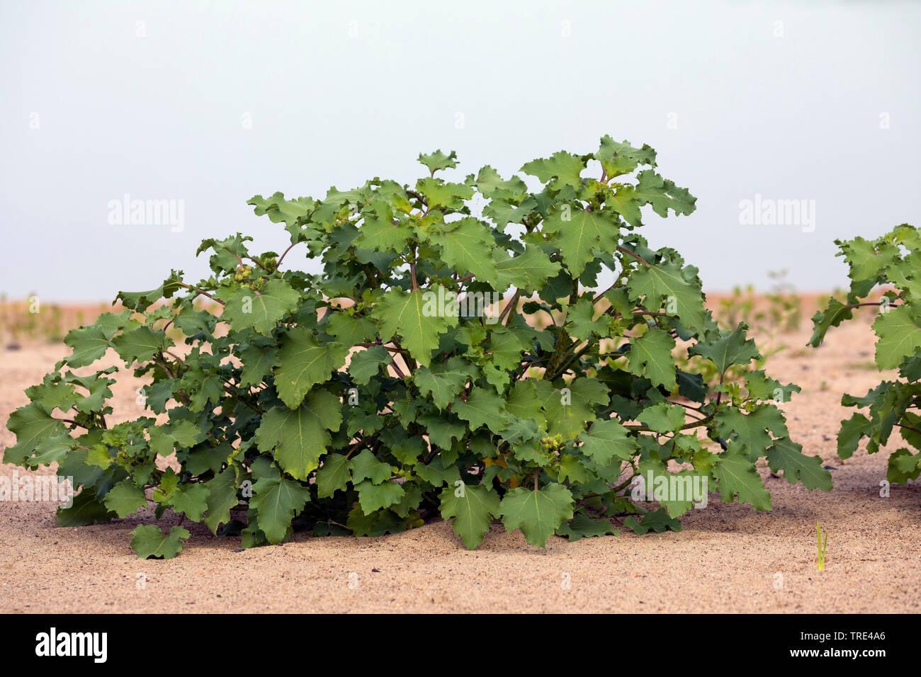 Elb-Spitzklette, Elbspitzklette, Ufer-Spitzklette, Uferspitzklette, Spitzklette (Xanthium albinum, Xanthium albinum subsp. albinum), Habitus, Deutschl - Stock Image