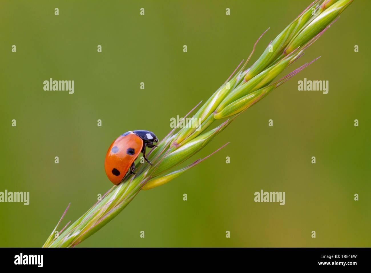 Siebenpunkt, Siebenpunkt-Marienkaefer, Siebenpunktmarienkaefer (Coccinella septempunctata), sitzt auf einem Gras, Deutschland, Hessen   seven-spot lad - Stock Image