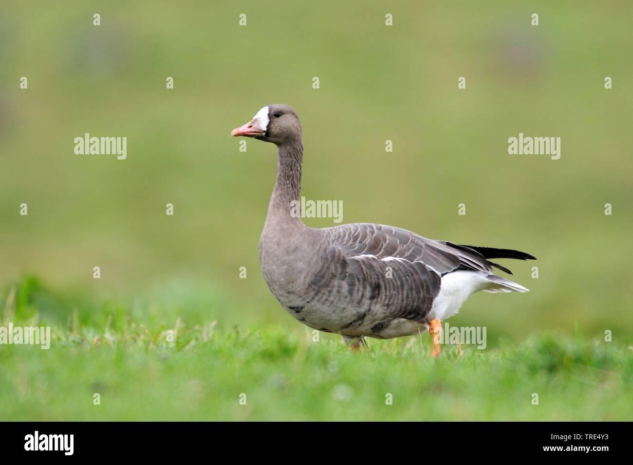 Blaessgans, Blaess-Gans, Blessgans, Bless-Gans (Anser albifrons), auf der Wiese, Deutschland, NRW | white-fronted goose (Anser albifrons), on the mead - Stock Image