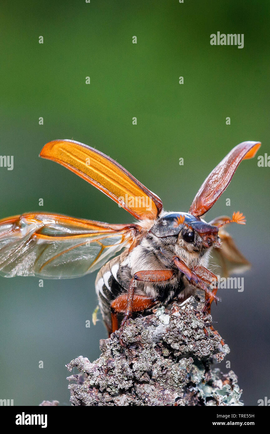 Common cockchafer, Maybug, Maybeetle (Melolontha melolontha), starting, Austria, Burgenland Stock Photo