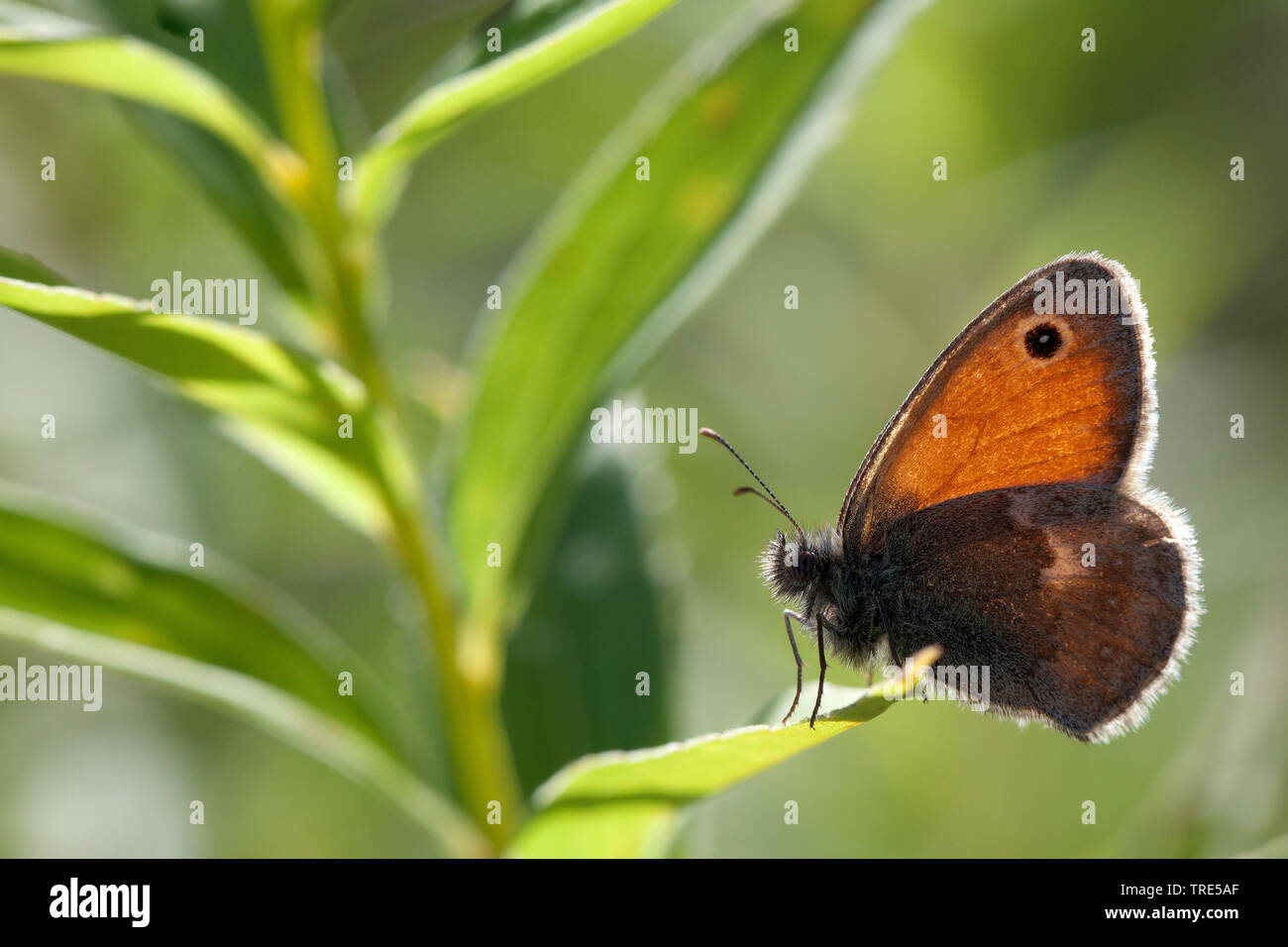 Kleines Wiesenvoegelchen, Wiesen-Voegelchen, Wiesenvoegelchen, Kleiner Heufalter (Coenonympha pamphilus), Seitenansicht, Deutschland, Bayern | small h - Stock Image
