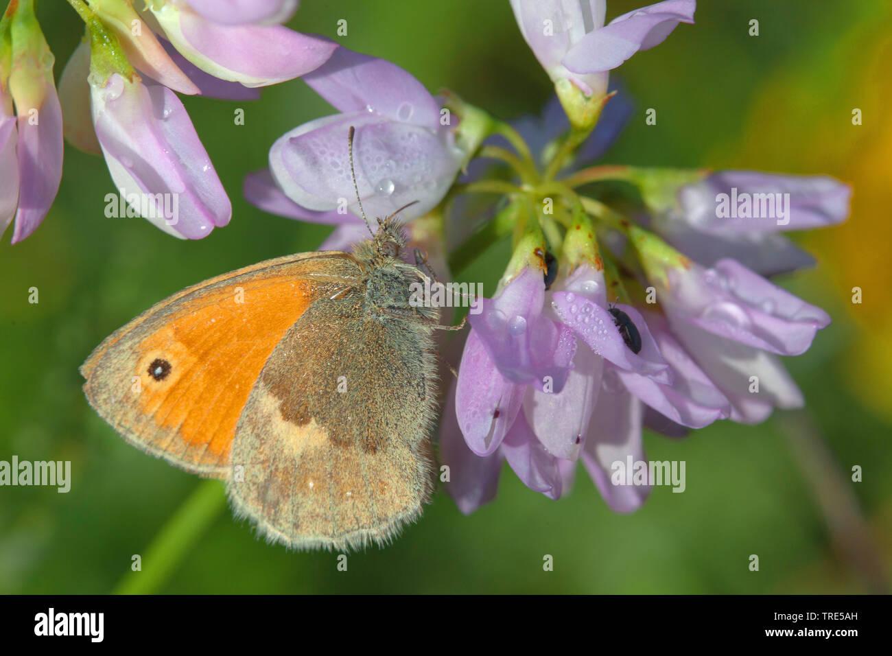 Kleines Wiesenvoegelchen, Wiesen-Voegelchen, Wiesenvoegelchen, Kleiner Heufalter (Coenonympha pamphilus), saugt an Kronenwicke, Deutschland | small he - Stock Image