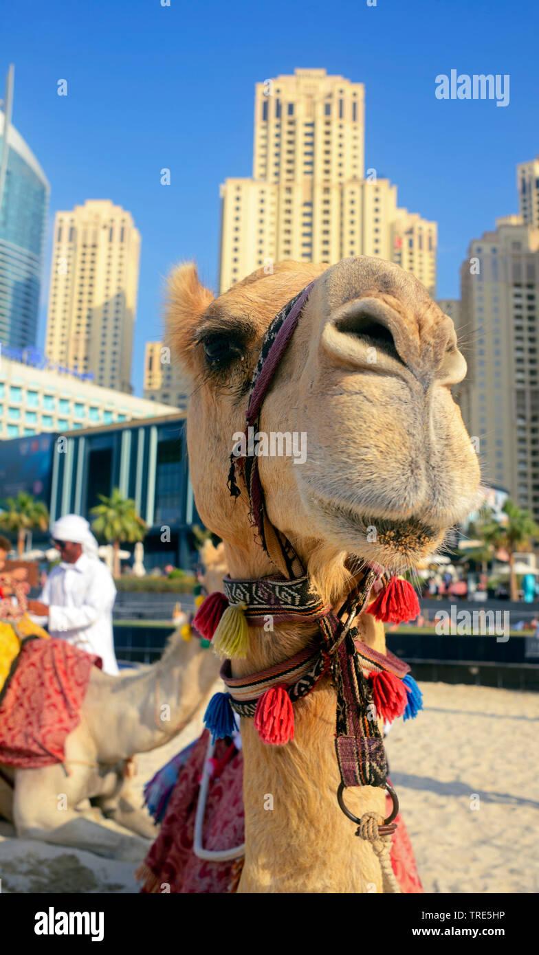 Kamel vor Wolkenkratzer der Stadt Dubai, Vereinigte Arabische Emirate, Dubai | camel in front of the skyscrapers of the city of Dubai, United Arab Emi - Stock Image