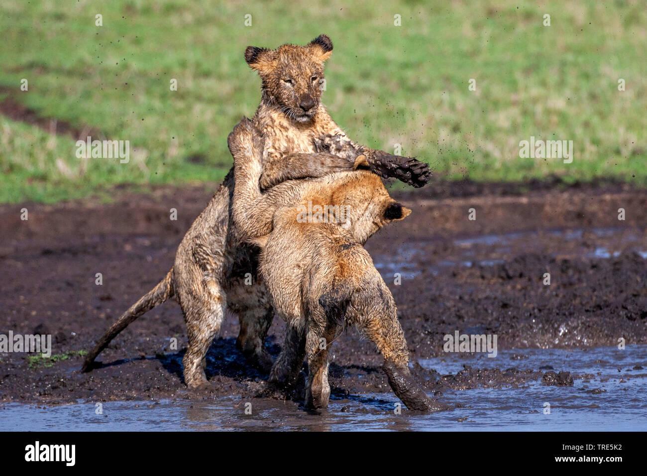 lion (Panthera leo), two lion cubs scuffling in a mud hole, Kenya, Masai Mara National Park Stock Photo