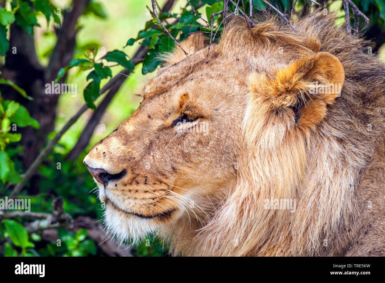 lion (Panthera leo), male lion, portrait, Kenya, Masai Mara National Park Stock Photo