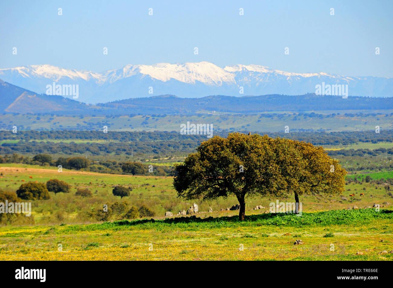 Johannisbrotbaum, Johannisbrot-Baum, Karobe (Ceratonia siliqua), Landschaft Extramadura, Spanien, Extremadura   carob, carob bean, St. John's bread (C - Stock Image