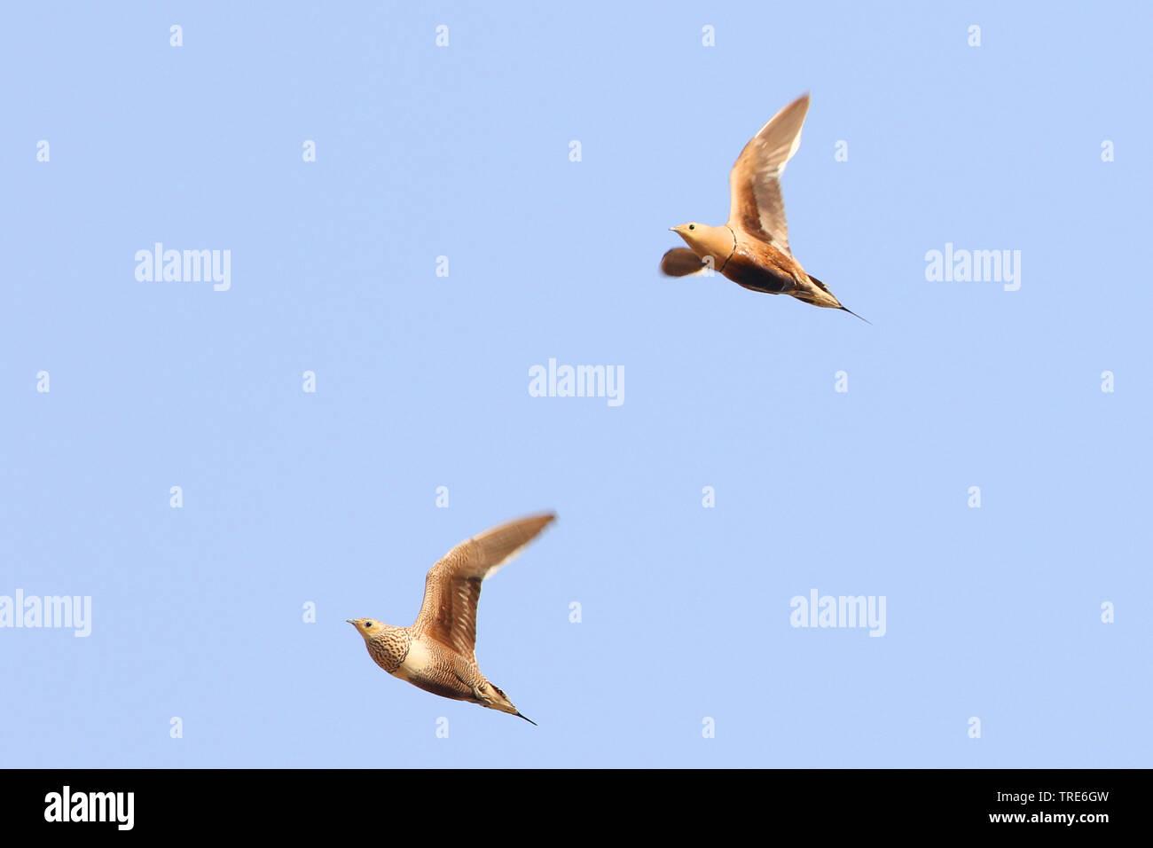 chestnut-bellied sandgrouse (Pterocles exustus), flying, Iran, Bandar Abbas Stock Photo