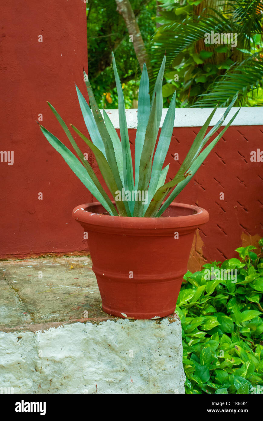 Agave plant in pot, very common in Mexico, taken from Tecoh, in the Yucatan peninsula - Stock Image