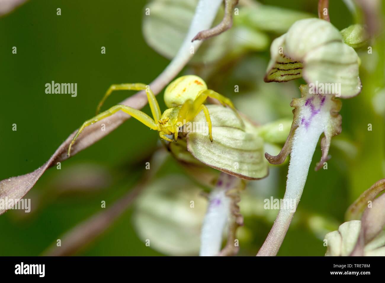 Veraenderliche Krabbenspinne, Veraenderliche Krabben-Spinne (Misumena vatia), auf Bocks-Riemenzunge (Himantoglossum hircinum), Deutschland | goldenrod - Stock Image