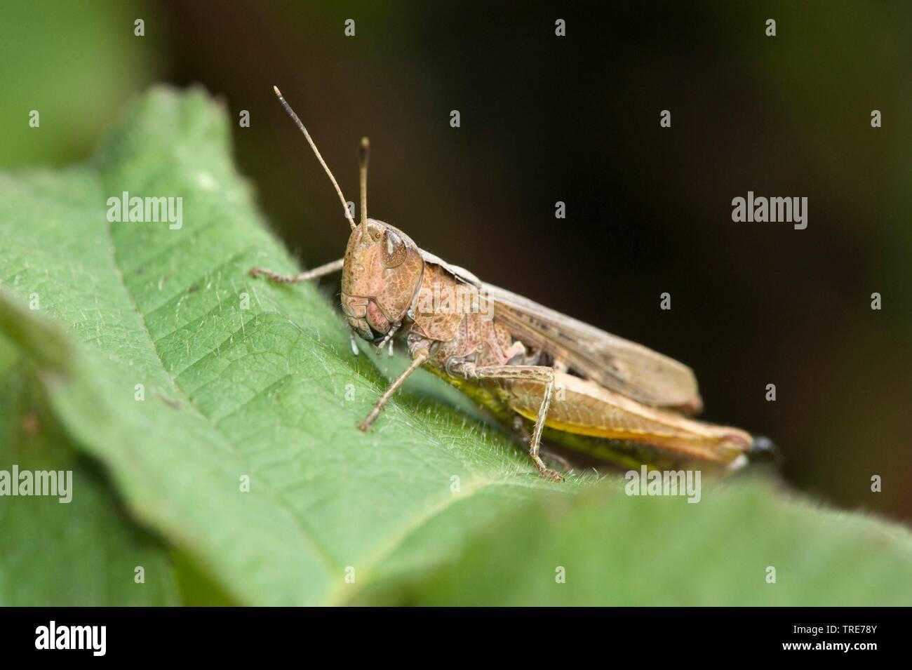 Rote Keulenschrecke (Gomphocerus rufus, Gomphocerippus rufus), sitzt auf einem Blatt, Deutschland, Pfungstadt_zw.Seeheim_u._Pf | rufous grasshopper (G - Stock Image