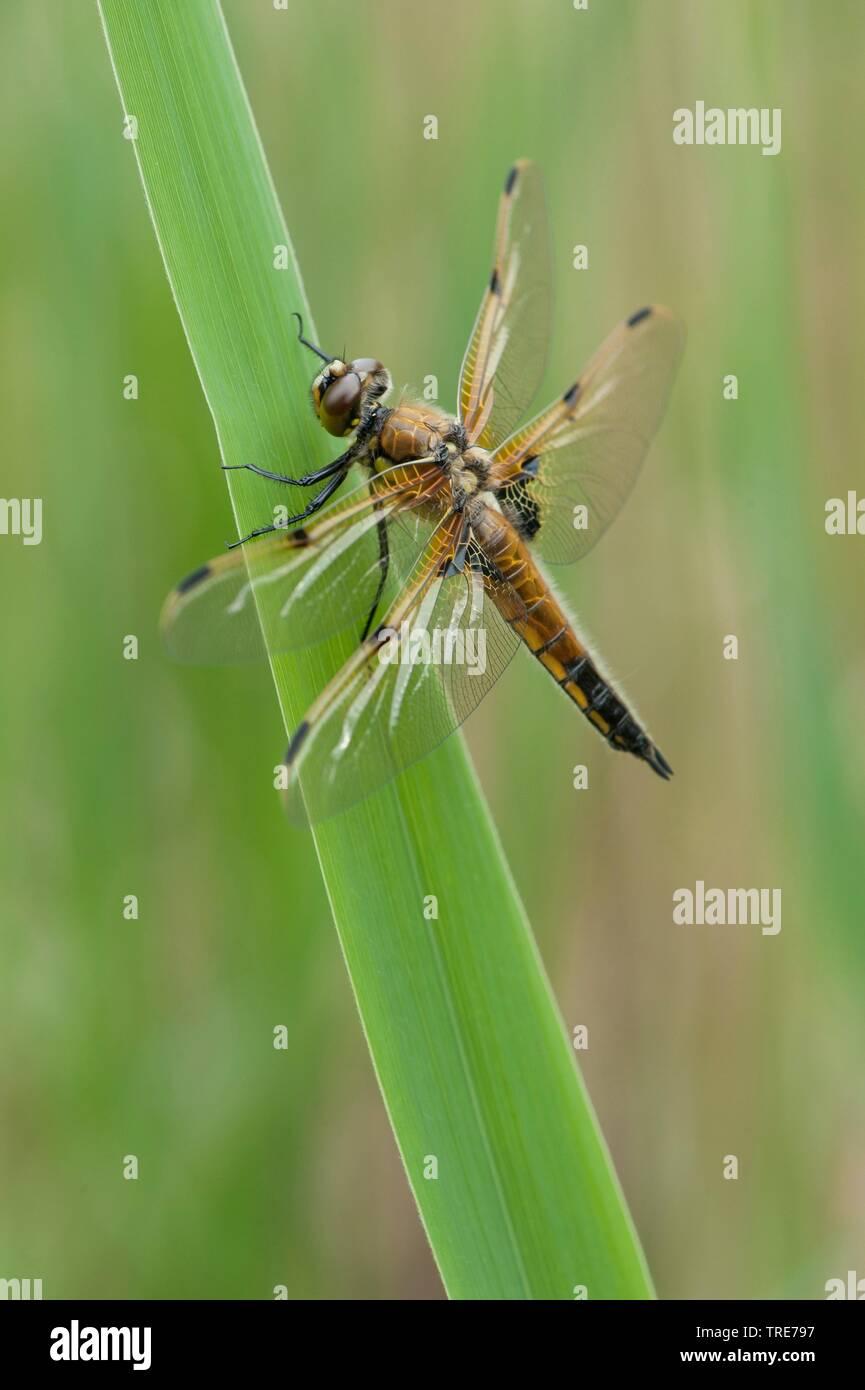 Vierfleck, Vierflecklibelle, Vierfleck-Libelle (Libellula quadrimaculata), sitzt auf einem Blatt, Deutschland | four-spotted libellula, four-spotted c - Stock Image