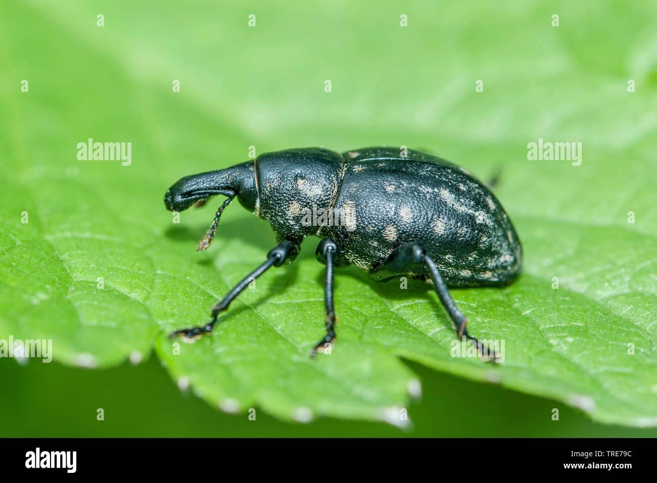 Kleiner Pestwurzruessler, Kleiner Pestwurz-Ruessler, Deutscher Traegruessler (Liparus germanus), sitzt auf einem Blatt, Deutschland | Weevil (Liparus - Stock Image