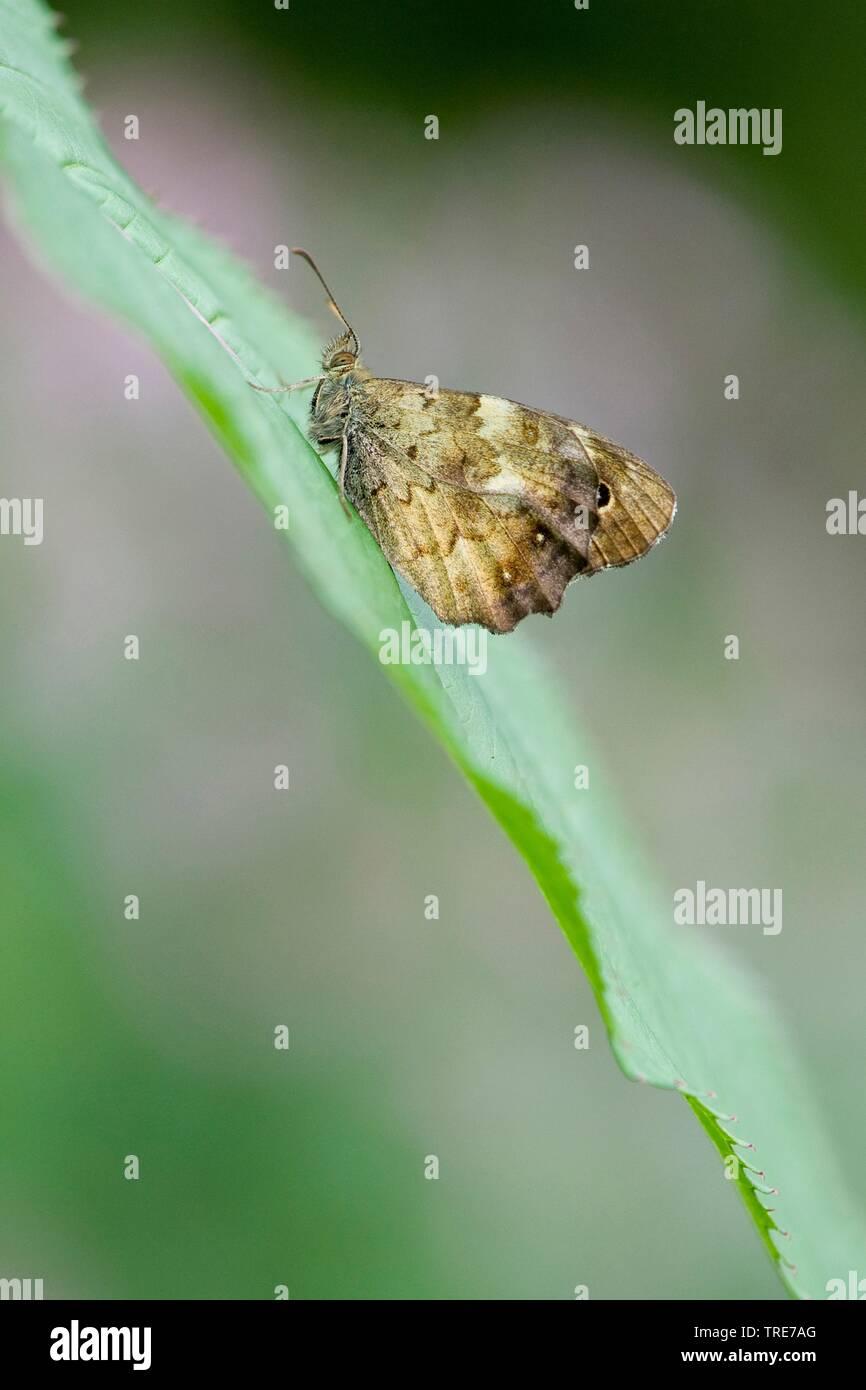 Waldbrettspiel, Laubfalter, Brettspiel (Pararge aegeria), sitzt auf einem Blatt, Deutschland | Speckled Wood (Pararge aegeria), sits on a leaf, German - Stock Image