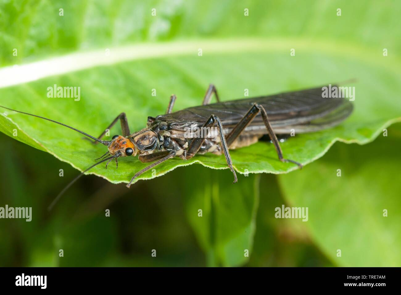 Grosse Steinfliege (Perla marginata), sitzt auf einem Blatt, Deutschland | Great Stonefly (Perla marginata), sits on a leaf, Germany | BLWS519139.jpg - Stock Image