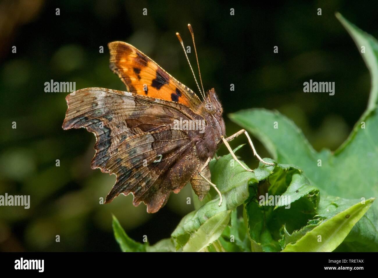 C-Falter, Weisses C, C-Fuchs (Polygonia c-album, Comma c-album, Nymphalis c-album), sitzt auf einem Blatt, Deutschland | comma (Polygonia c-album, Com - Stock Image