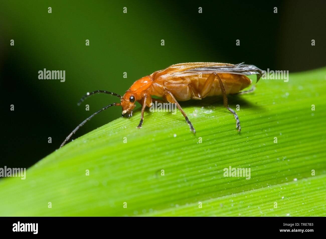 Schwarzzipfeliger Weichkaefer, Rotgelber Weichkaefer, Brauner Weichkaefer, Schwarzzipfeliger Weichkaefer (Rhagonycha fulva), sitzt auf einem Blatt, De - Stock Image
