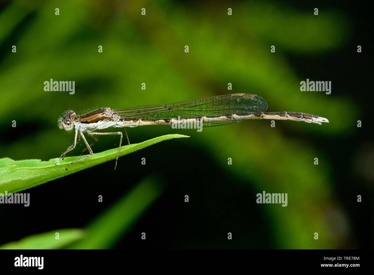 Winterlibelle, Gemeine Winterlibelle (Sympecma fusca), sitzt auf einem Blatt, Deutschland | winter damselfly (Sympecma fusca), sits on a leaf, Germany - Stock Image