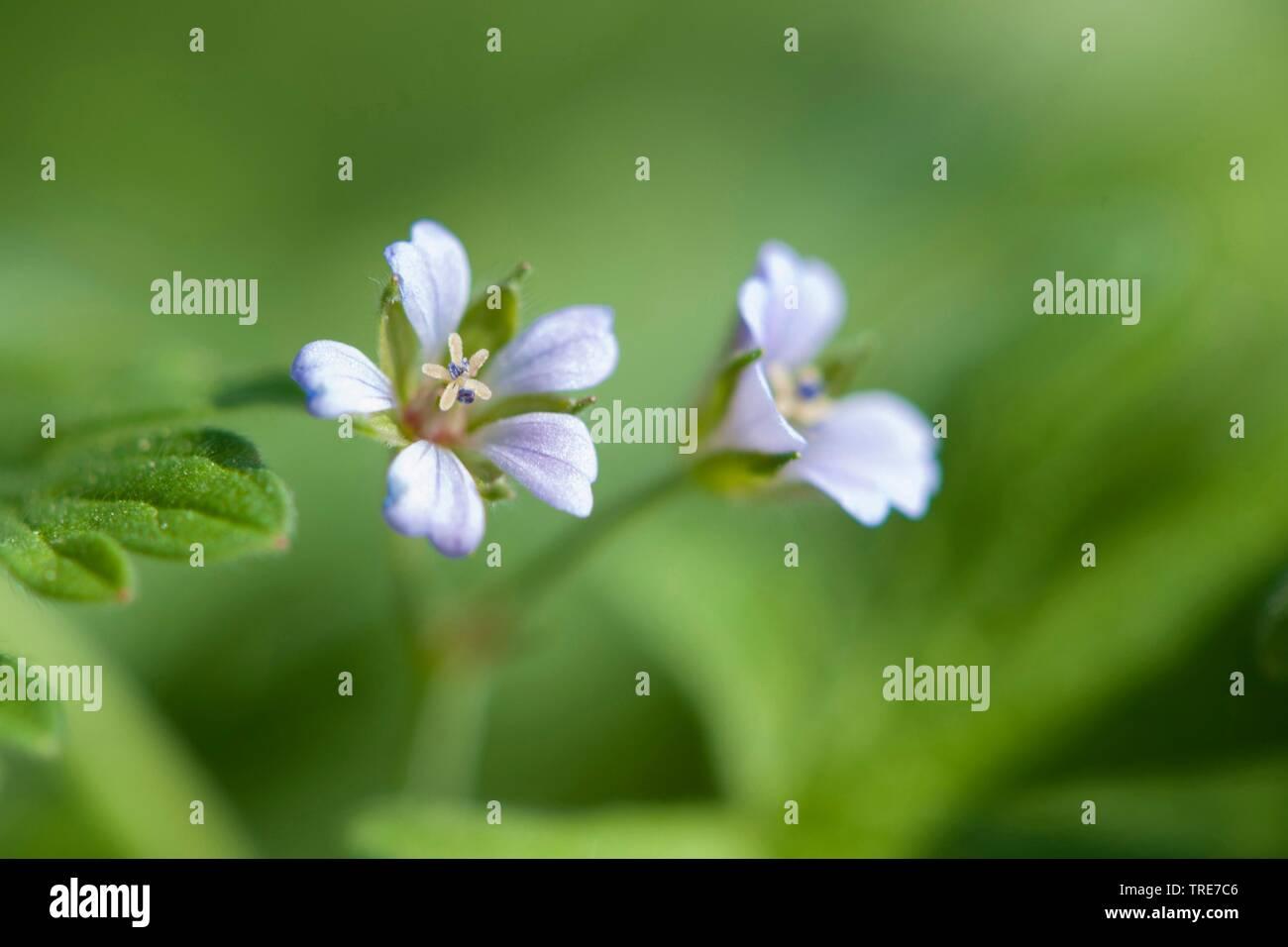 Kleiner Storchschnabel, Zwerg-Storchschnabel, Zwergstorchschnabel (Geranium pusillum), bluehend, Deutschland   Small-flowered cranesbill, Traveler's g - Stock Image