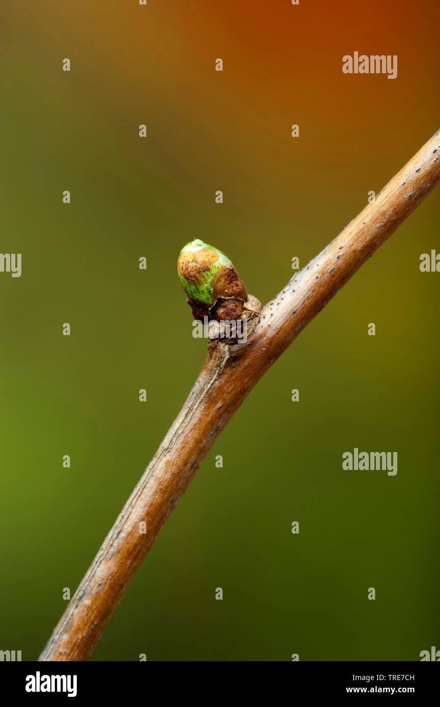 Ginkgo, Ginkgobaum, Faecherblattbaum, Faecherblattbaum, Silberpflaume, Silberaprikose, Silber-Pflaume, Silber-Aprikose (Ginkgo biloba), Zweig mit Knos - Stock Image